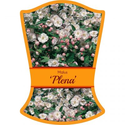 malus plena 400x400 Tree Tags for Wholesale Nurseries