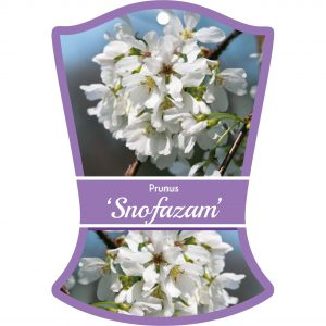 prunus snofazam 300x300 Greenlife by Immij
