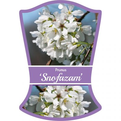 prunus snofazam 400x400 Temporary or Long Lasting? Choosing Commercial Plant Tags