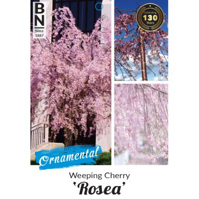 weeping cherry 400x400 How Plant Wholesalers Can Best Market Roses, Camellias, and Flowering & Deciduous Fruit Trees
